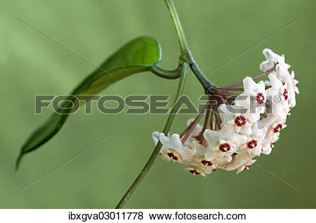 Pictures of Flower umbel of a Wax Plant (Hoya carnosa.