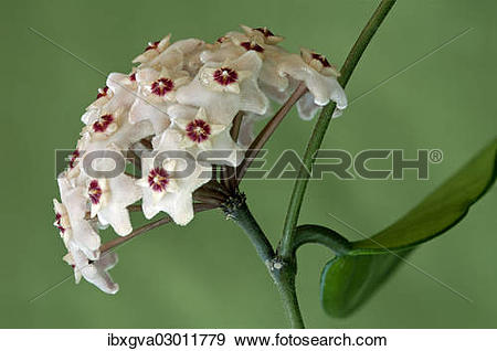 Stock Photograph of Flower umbel of a Wax Plant (Hoya carnosa.