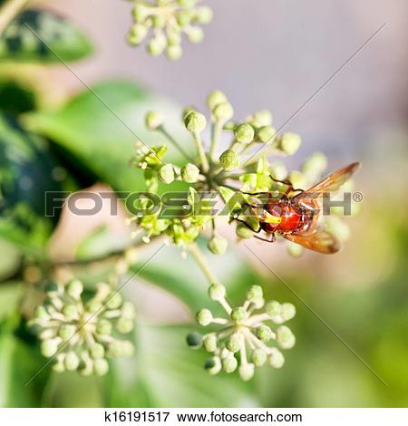 Picture of flower fly volucella inanis on blossoms of ivy.