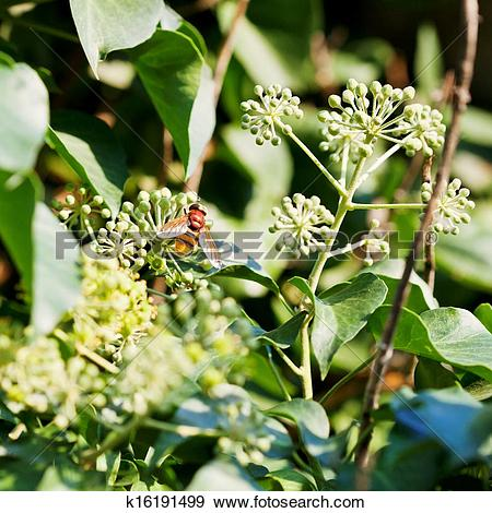 Stock Photograph of flower fly volucella inanis on blossoms of ivy.