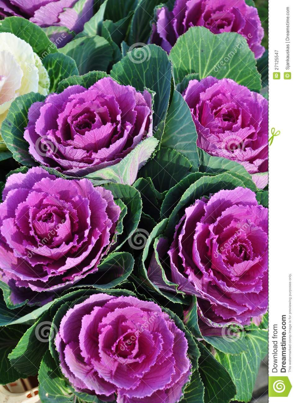 Cabbage Flowers Royalty Free Stock Photography.