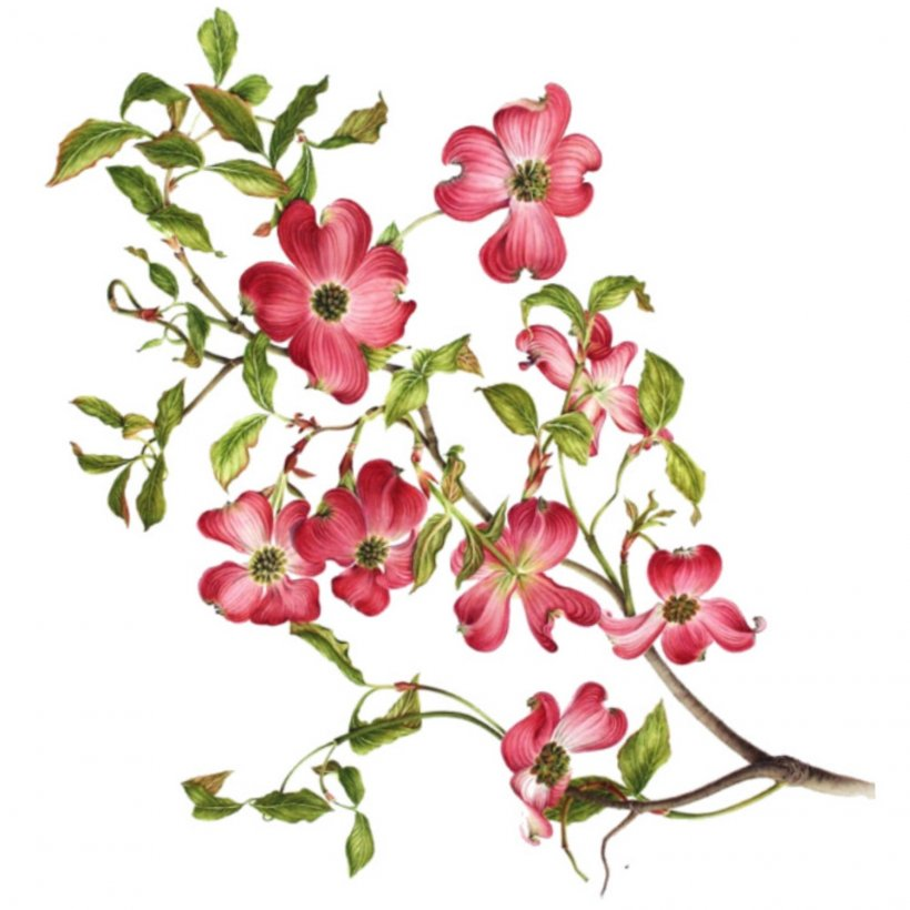 Flowering Dogwood Virginia Drawing Clip Art, PNG.