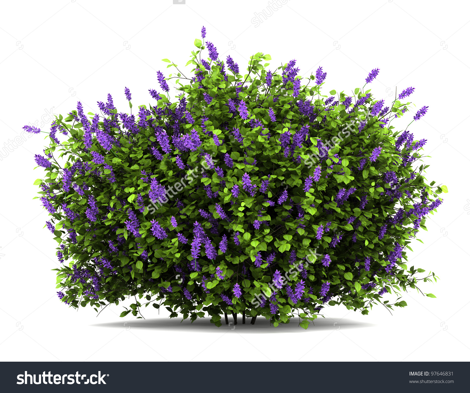 Lilac Flowers Bush Isolated On White Stock Illustration 97646831.