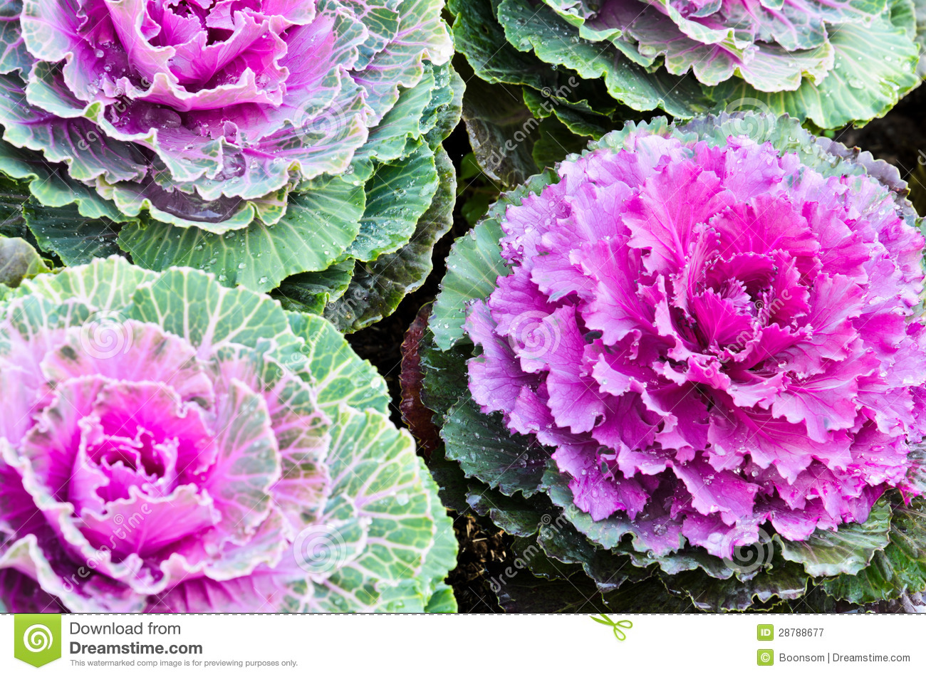 Purple Ornamental Kale Royalty Free Stock Photography.