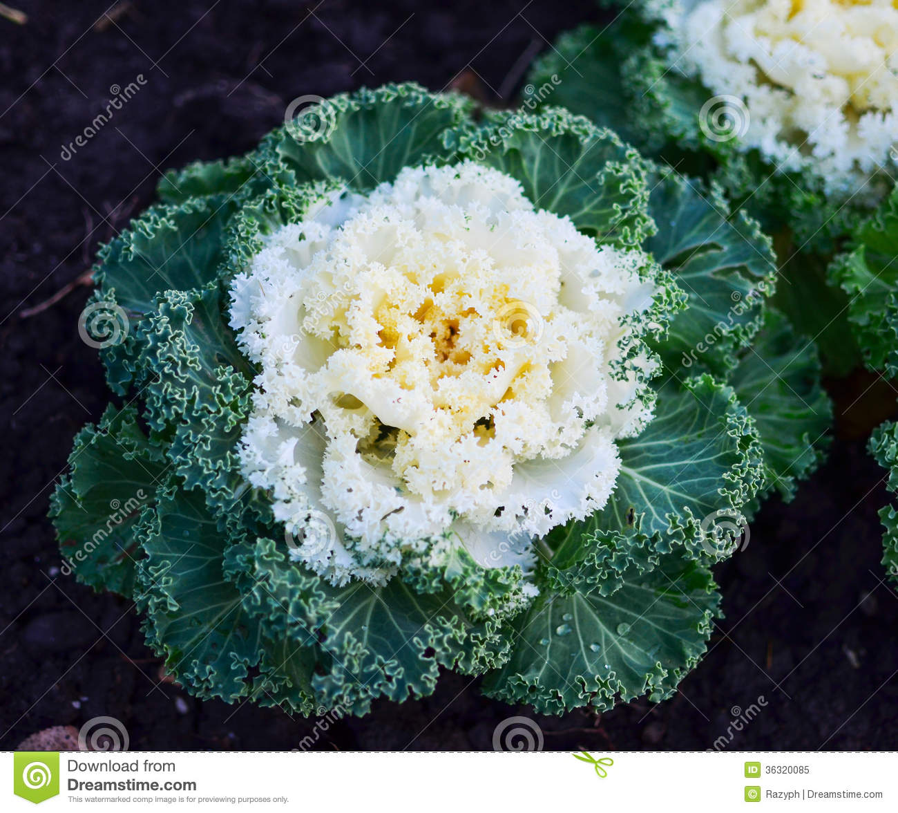 Ornamental Kale Cabbage Royalty Free Stock Photo.