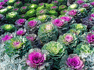 Ornamental Kale Royalty Free Stock Image.
