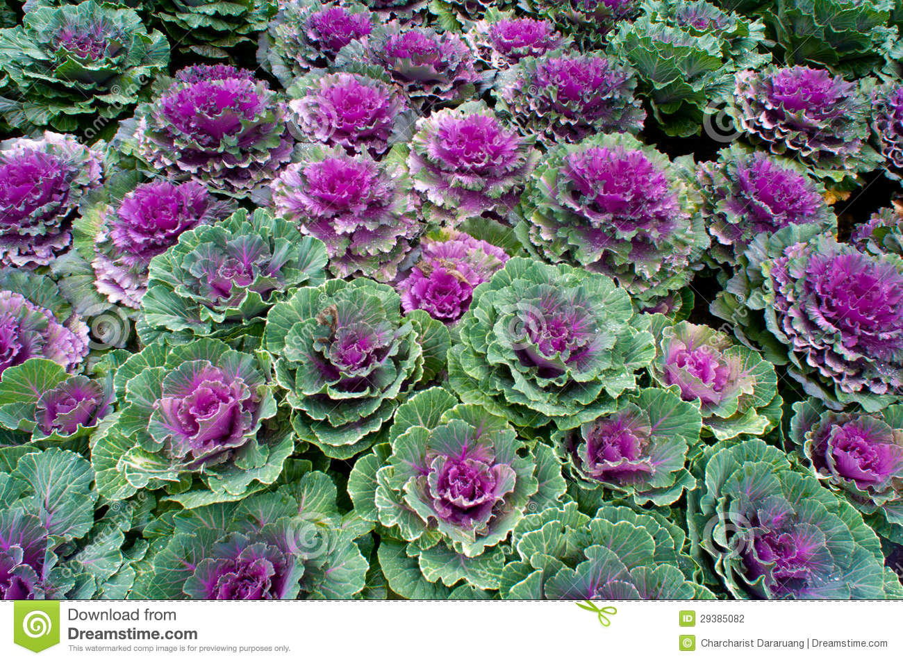 Ornamental Kale Plant Stock Photography.