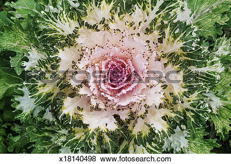 Pictures of Ornamental kale x18140498.