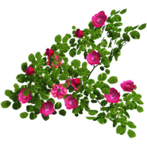 Flowering Shrub Clipart 20 Free Cliparts Download Images
