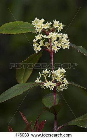 Stock Photography of Khat, Kath Tree (Catha edulis), flowering.