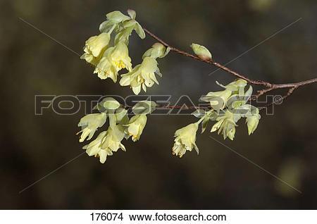 Stock Photo of Buttercup Witch Hazel (Corylopsis pauciflora.