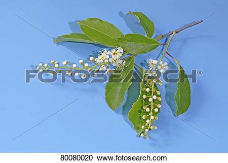 Stock Photography of DEU, 2006: Black Cherry (Prunus serotina.
