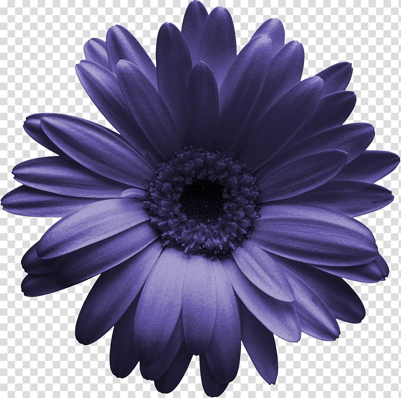 Transvaal daisy Gerber format Chrysanthemum , purple flower.