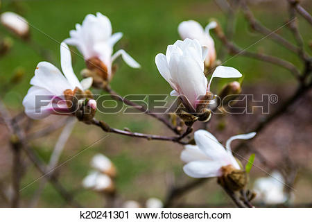 Stock Photography of White flowers of the magnolia tree in early.