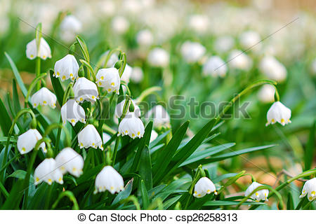 Stock Photography of Early spring snowflake wild flowers.
