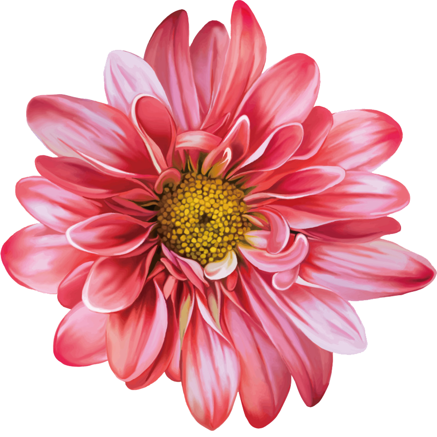 Chrysanthemum Flowers PNG Clipart.