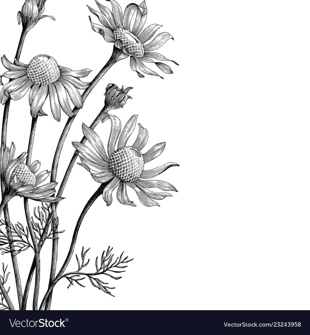 Chamomile flowers hand draw vintage clip art.