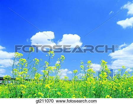Stock Photography of rape flower, sky, cloud, clouds, garden.