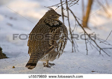 Stock Photograph of Ruffed grouse (Bonasa umbellus) on woodland.