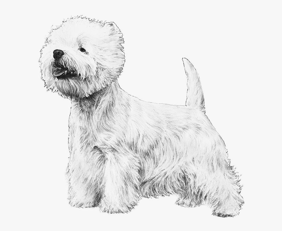 Westie Drawing White Fluffy Dog Transparent Png Clipart.
