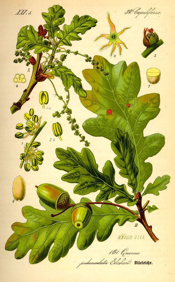 botanical illustration.