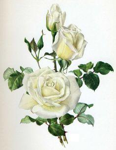 holly botanical illustration @wikimediacommons #illustration.