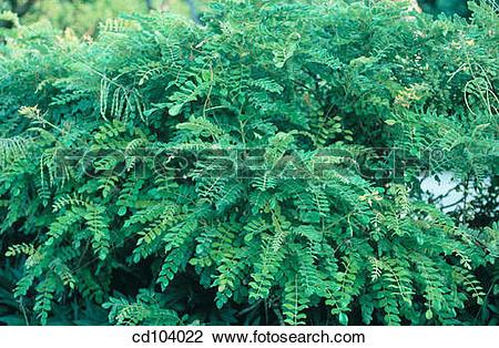 Stock Photo of Necklace Pod, Silver Bush Pea (Sophora tomentosa.
