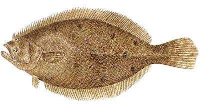 Fluke Fish Clipart.