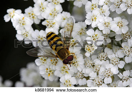 Stock Photo of Syrphid fly on Yarrow bloom k8681994.