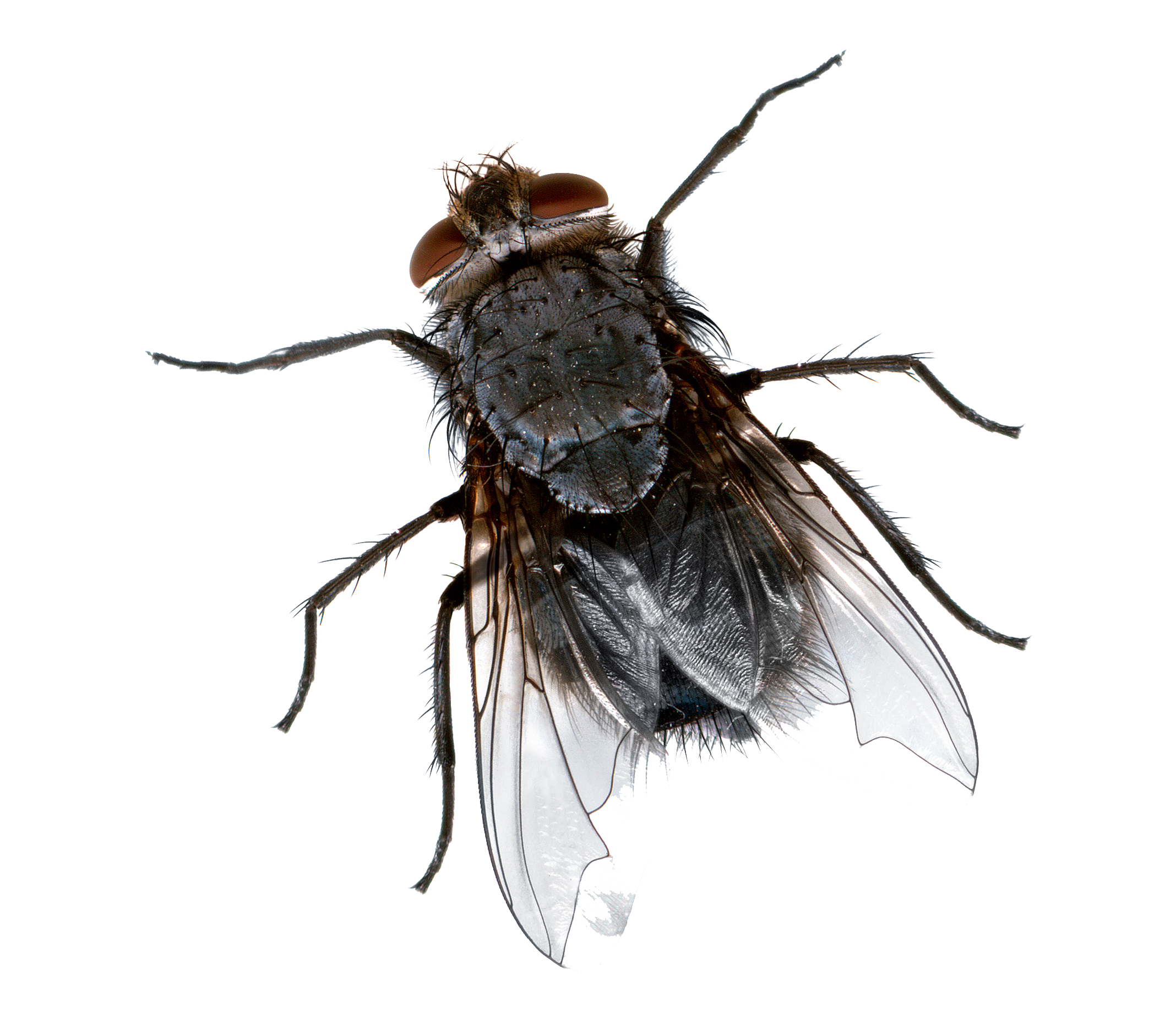 Flies PNG Images Transparent Free Download.