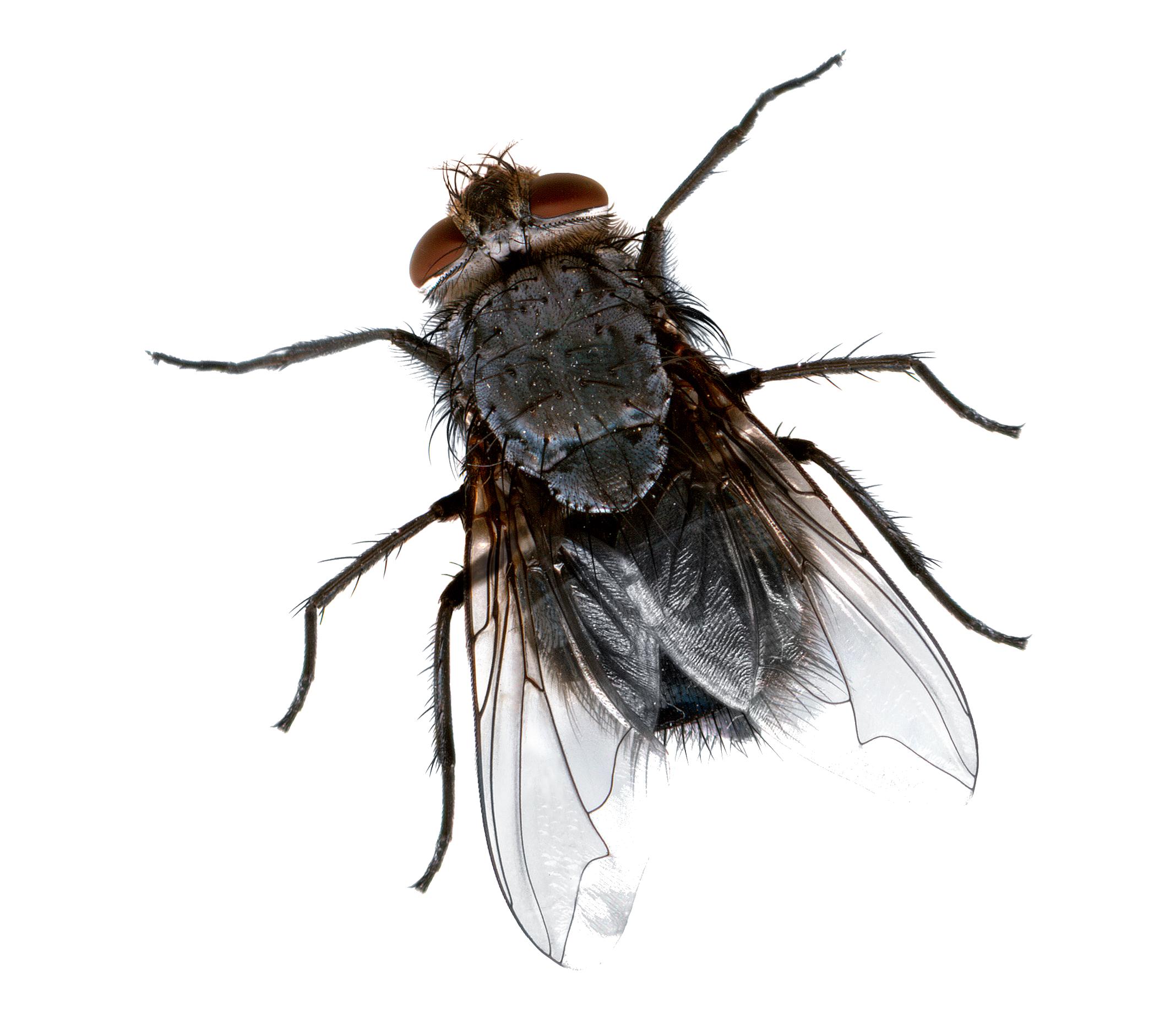 Flies PNG Images Transparent Free Download.