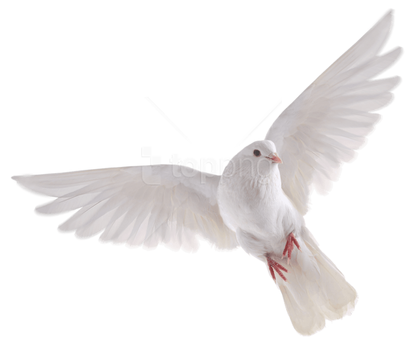 Download White Bird Png () png images.