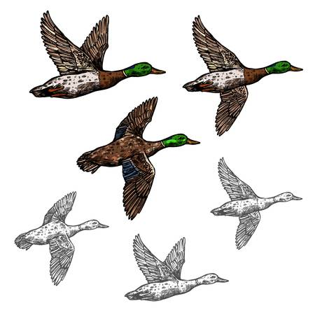 2,044 Flying Duck Stock Illustrations, Cliparts And Royalty Free.