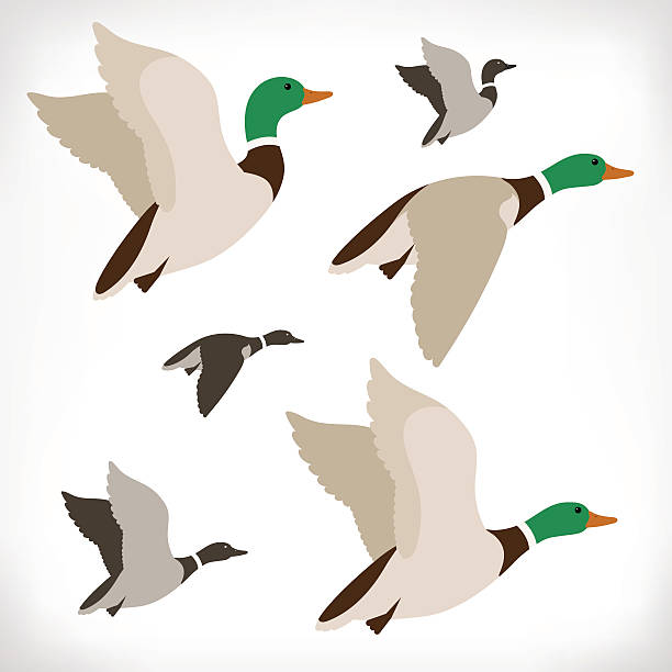 Flying duck clipart 1 » Clipart Station.