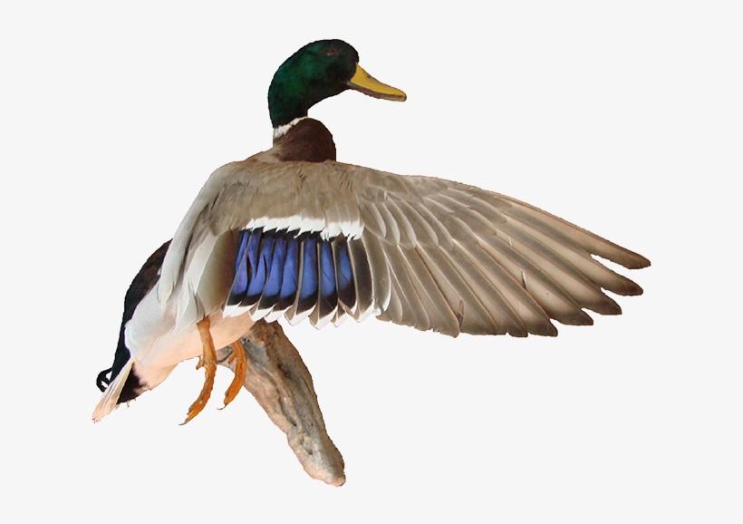 Image Free Stock Mallard Duck Png.