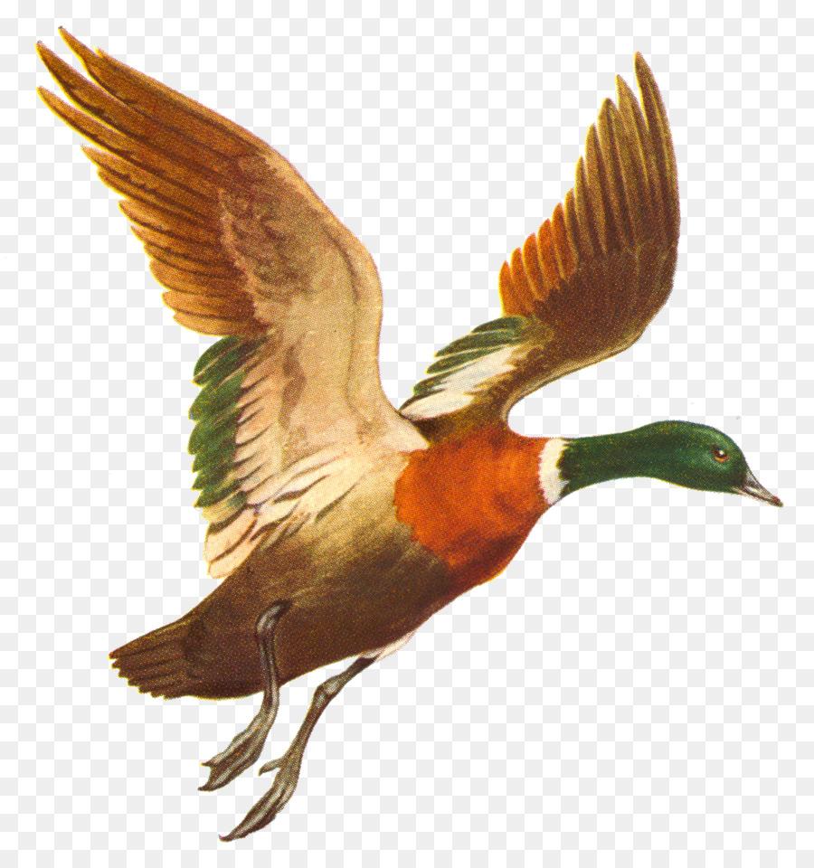 Duck Mallard Bird Flight.