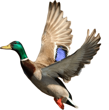 Flying Duck Png #65040.