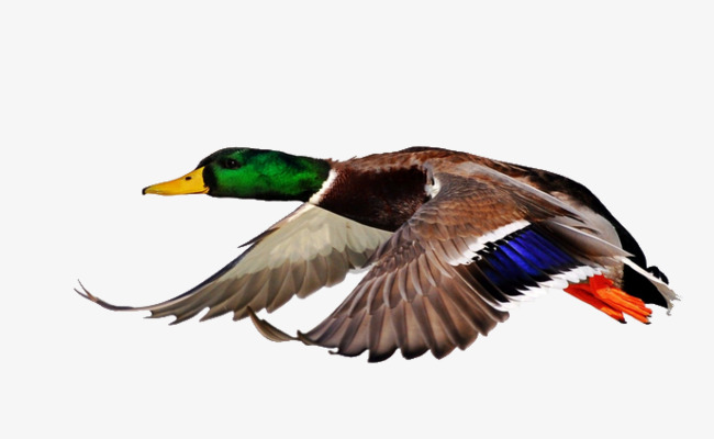 Download Free png Flying Duck PNG Images.
