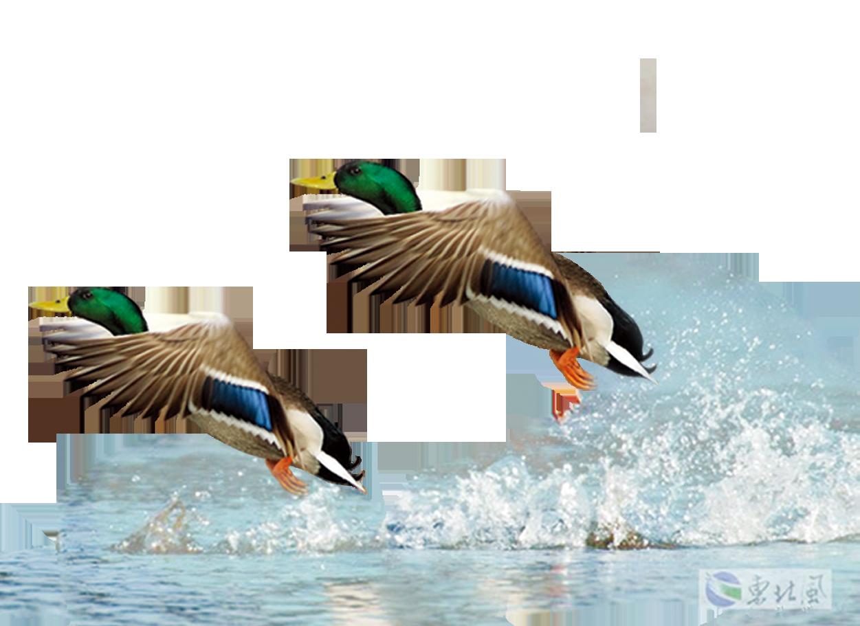 Mallard Duck Flight Bird.