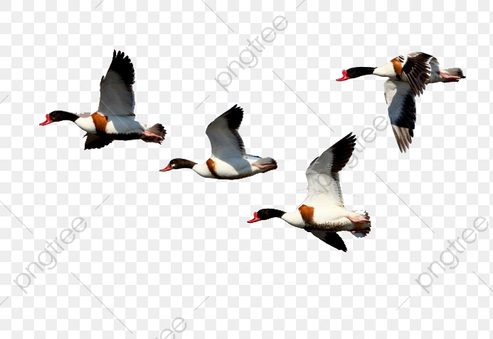 Fly Shelduck, Duck, Shelduck, Flying Duck PNG Transparent Clipart.