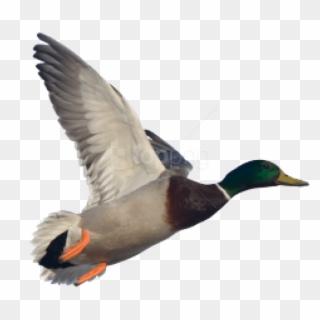 Flying Duck PNG Images, Free Transparent Image Download.