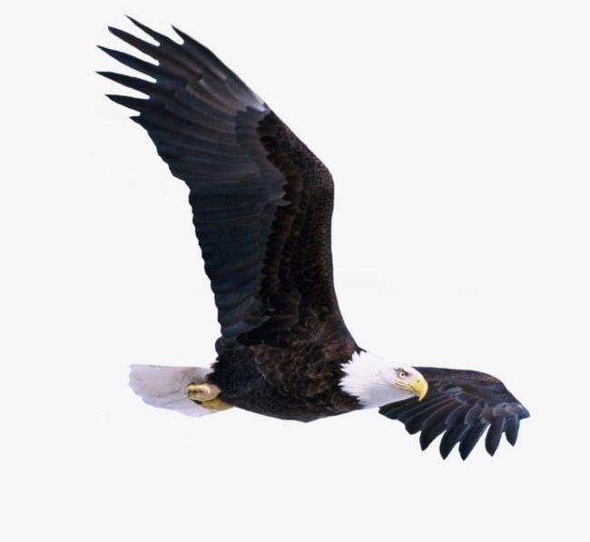 Flying Eagle PNG, Clipart, Birds, Eagle Clipart, Falcons, Fly.