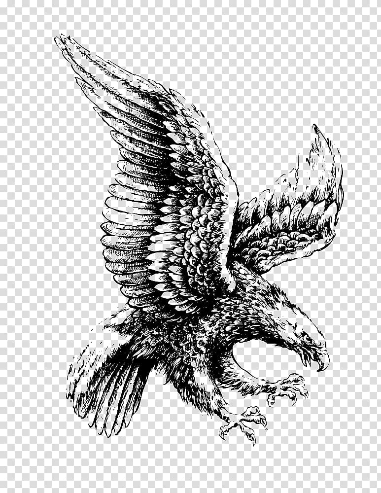Eagle , Bald Eagle Drawing Illustration, Flying eagle.