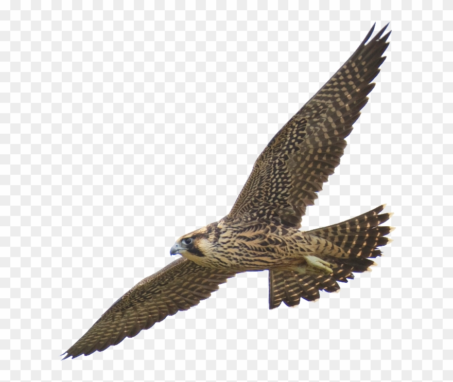 Falcon Clipart Harrier.