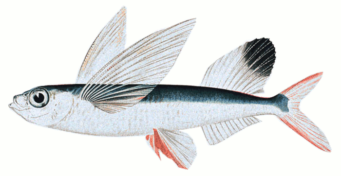 Flying Fish Clip Art Download.