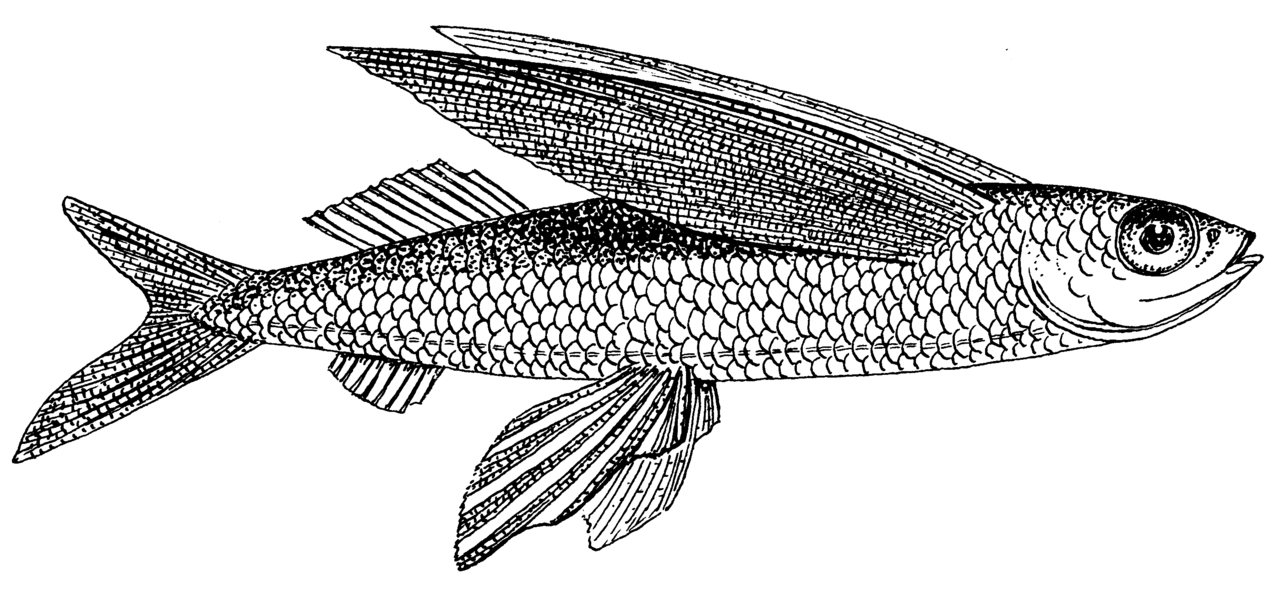 File:Flying Fish (PSF).png.