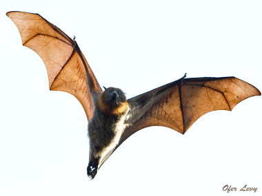 Flying fox clipart.