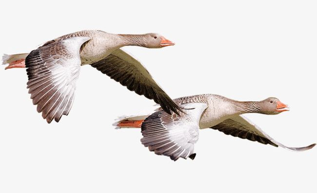 Flying Geese PNG, Clipart, Animal, Animal World, Autumn.
