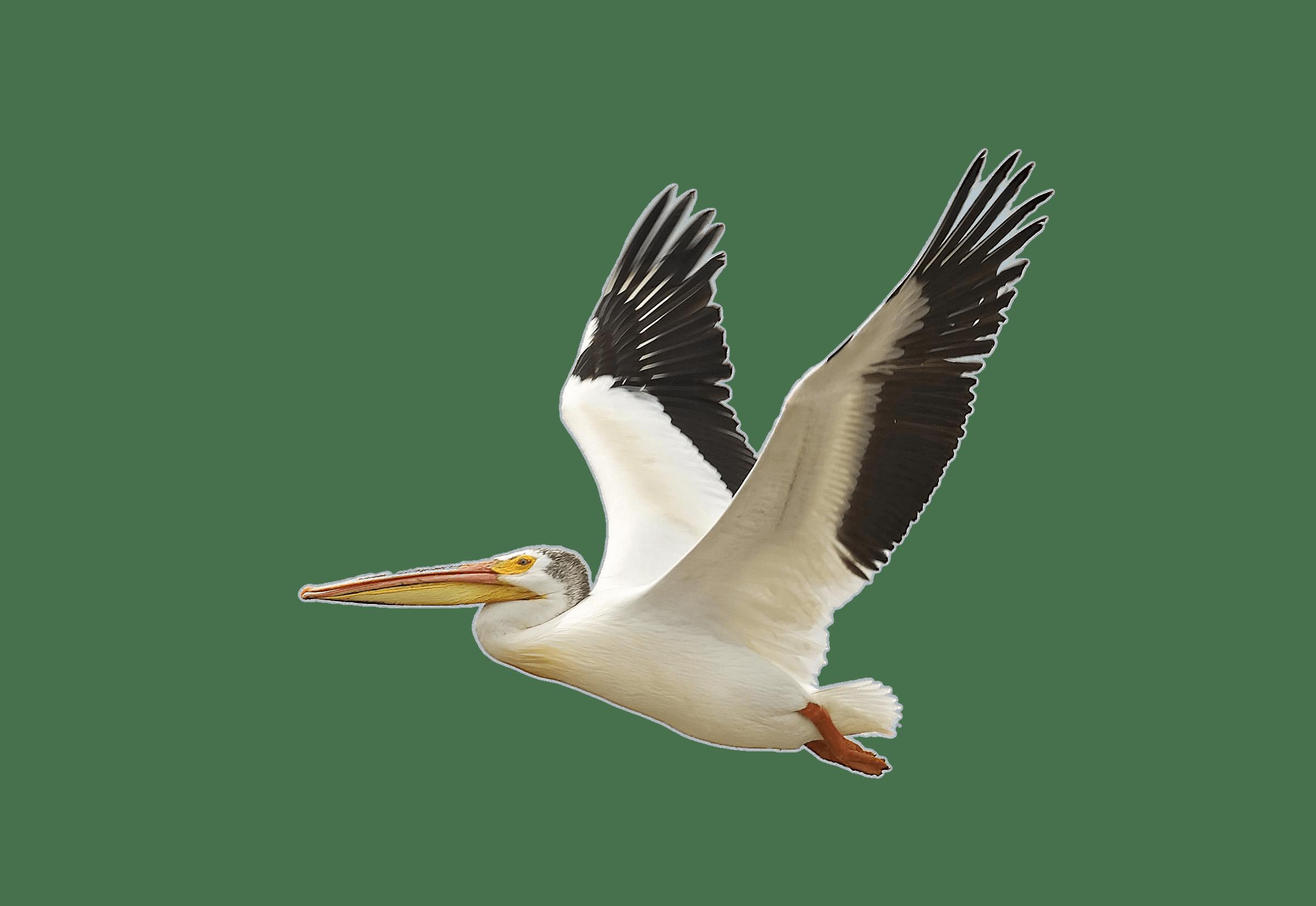 The Birds of America American white pelican Brown pelican.
