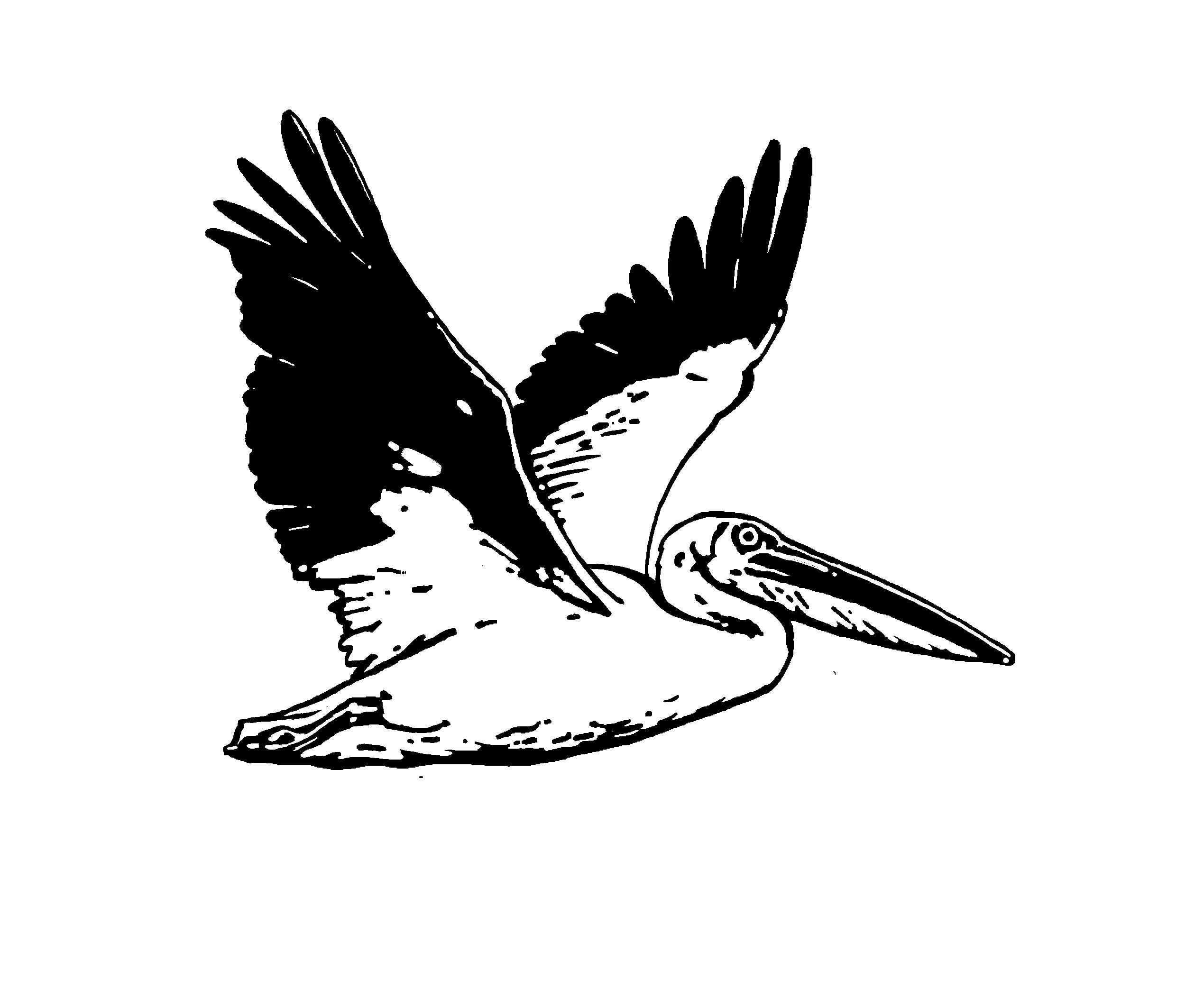 Flying pelican clipart.